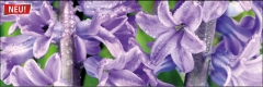 7312 Hyazinte lila 1
