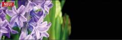 7313 Hyazinte lila 2